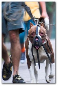 403pxpit_bull_restrained